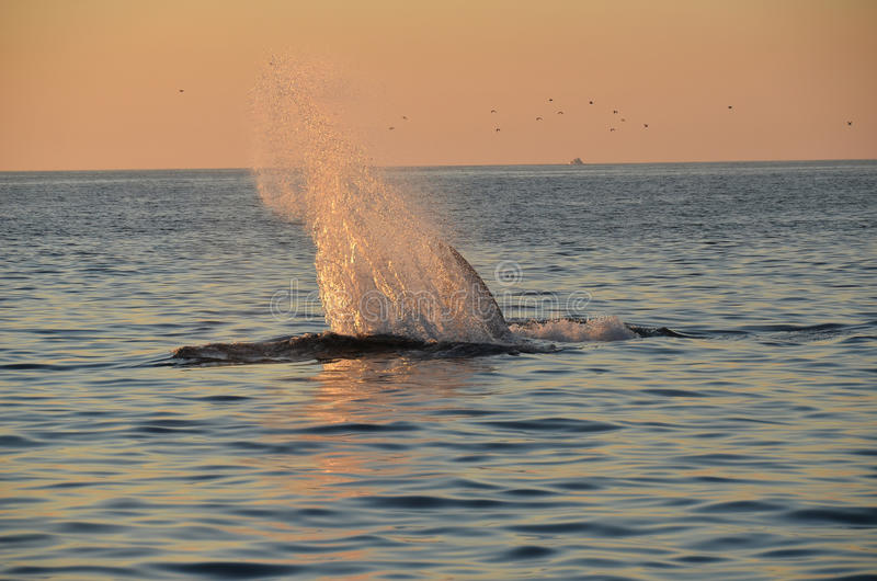 Whale Splash. Fin whale splashing in the Pacific Sunset stock photo