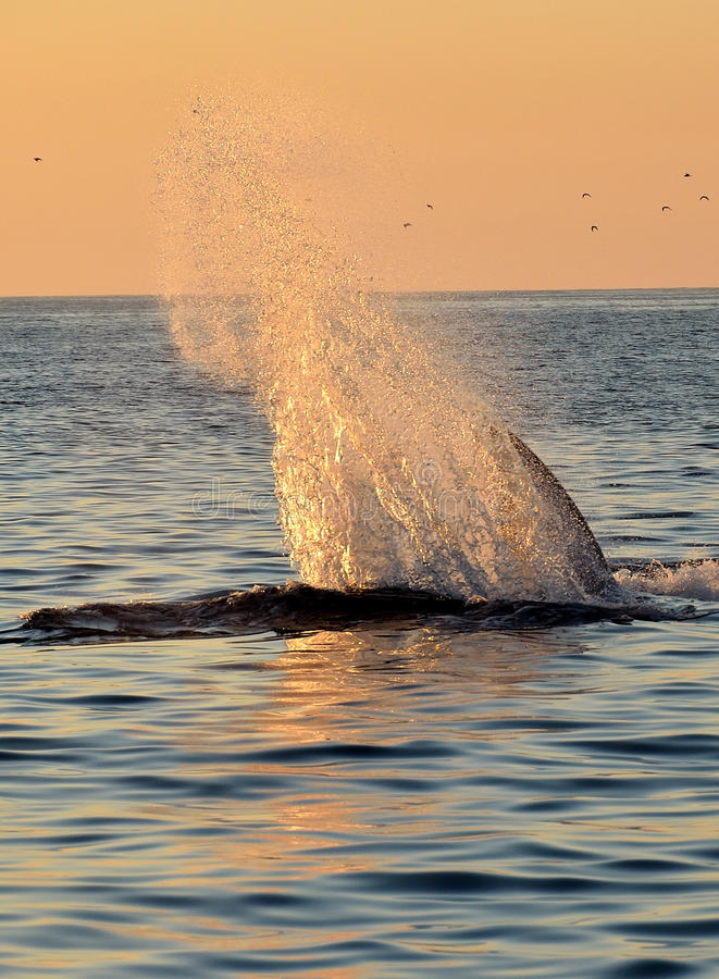 Whale Splash. Fin whale splashing in the Pacific Sunset stock photography