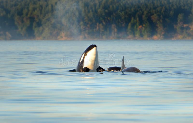 Whale Spyhopping. Pod of Orca Killer whales swimming in blue Ocean, Victoria, Canada royalty free stock photography