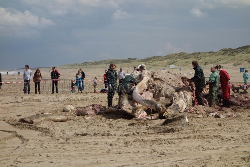Whale stranded in Netherlands. The cetacean stranding is a phenomenon when Cetacea (whales and some other members of that order) strand themselves on land stock photos