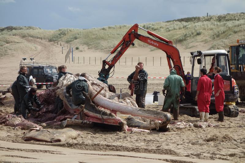 Whale stranded in Netherlands. The cetacean stranding is a phenomenon when Cetacea (whales and some other members of that order) strand themselves on land royalty free stock photos