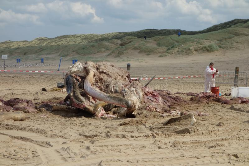 Whale stranded in Netherlands. The cetacean stranding is a phenomenon when Cetacea (whales and some other members of that order) strand themselves on land stock photo