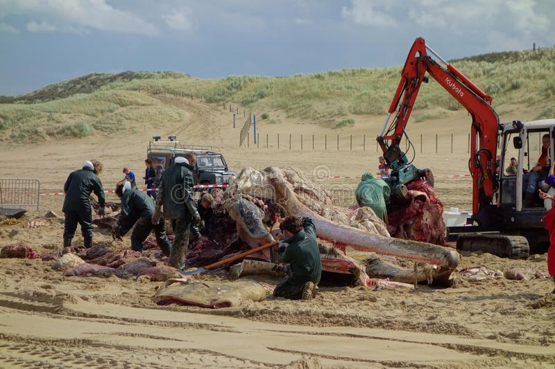 Whale stranded in Netherlands. The cetacean stranding is a phenomenon when Cetacea (whales and some other members of that order) strand themselves on land stock image