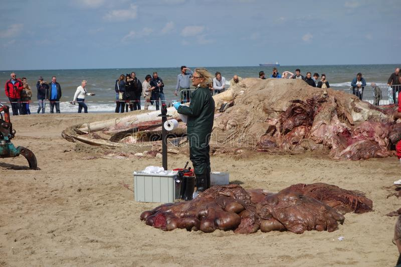 Whale stranded in Netherlands. The cetacean stranding is a phenomenon when Cetacea (whales and some other members of that order) strand themselves on land stock photography