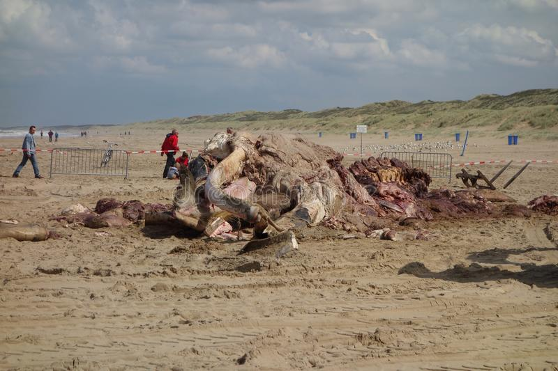 Whale stranded in Netherlands. The cetacean stranding is a phenomenon when Cetacea (whales and some other members of that order) strand themselves on land royalty free stock photo