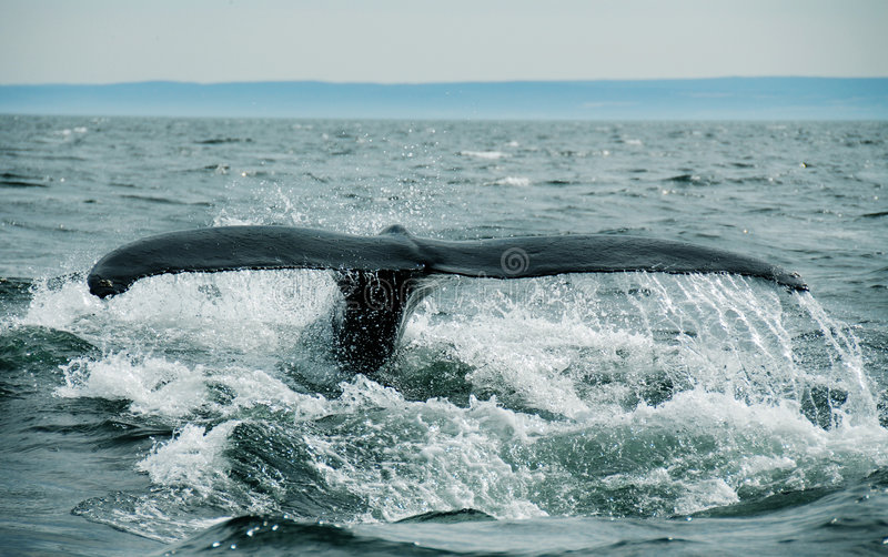 Download Whale Tail stock image. Image of real, finback, flipper - 1223789