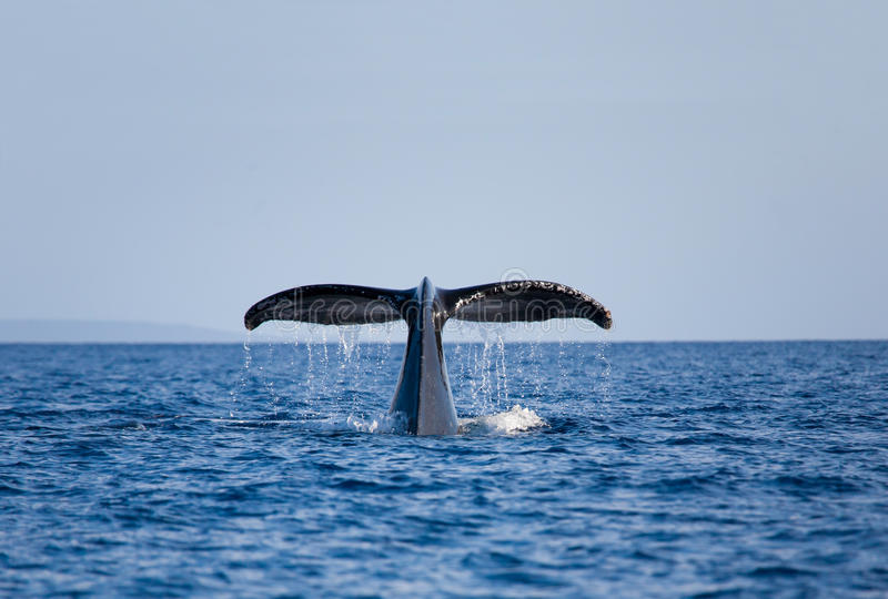 Whale tail royalty free stock photography