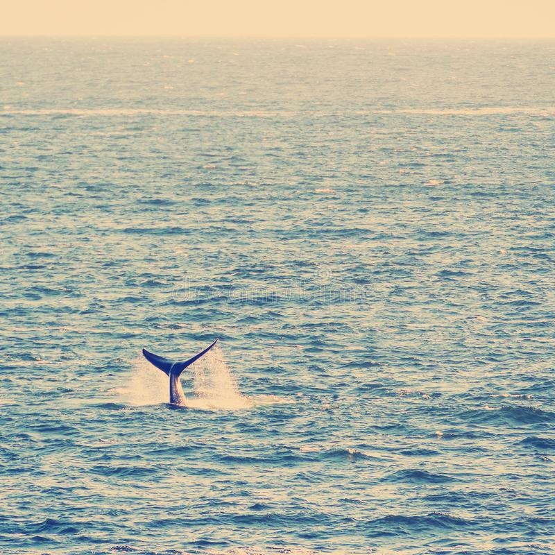 Whale Tail Breach on Horizon royalty free stock photography