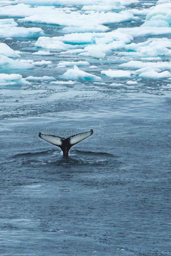Whale Tail between Ice - Wallpaper. Whale tail in ice water near Kap Farvel, Greenland