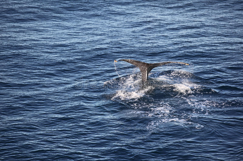 Download A whale tale stock image. Image of feeding, ocean, life - 32914407