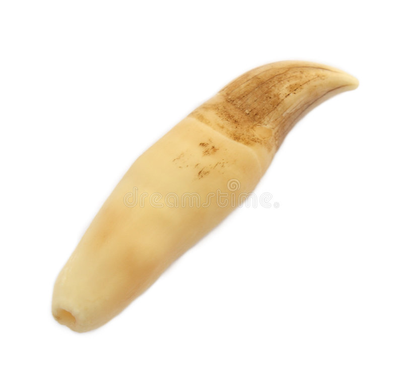 Whale tooth royalty free stock images