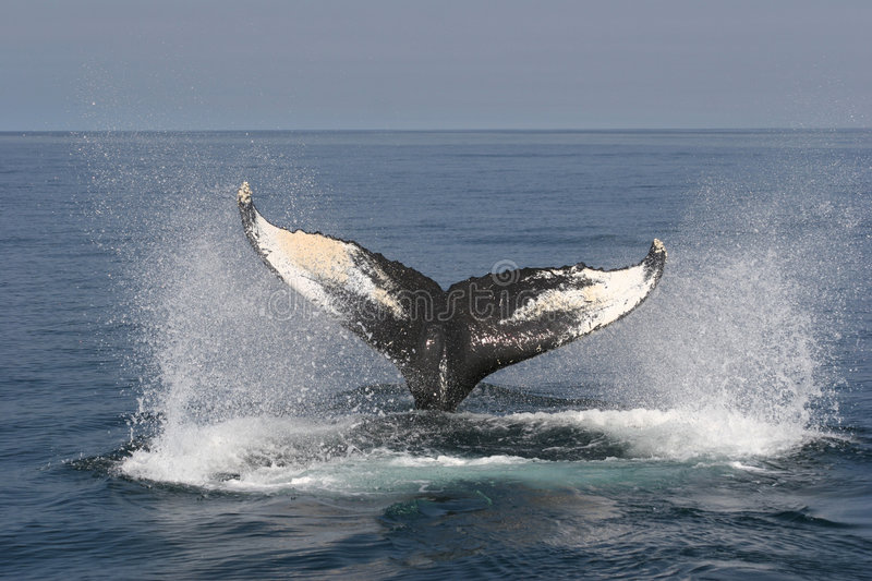Whale Watching. In Nova Scotia: Humpback is diving