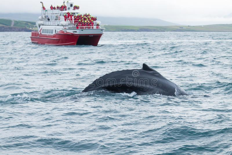 Whale watching from Akureyri, Iceland. Whale in nature. Whale watching from Akureyri, Iceland. Whale in water. Wildlife royalty free stock photo