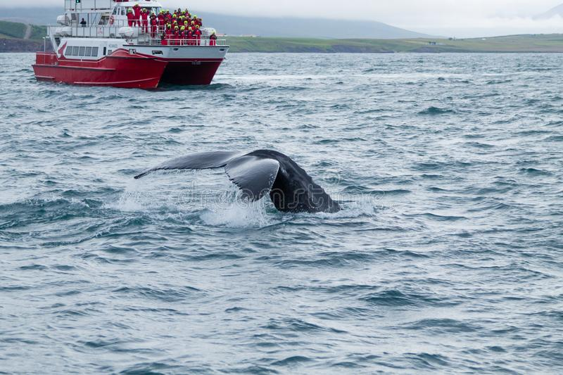 Whale watching from Akureyri, Iceland. Whale in nature. Whale watching from Akureyri, Iceland. Whale in water. Wildlife, animal, arctic, background, beauty, blue royalty free stock images
