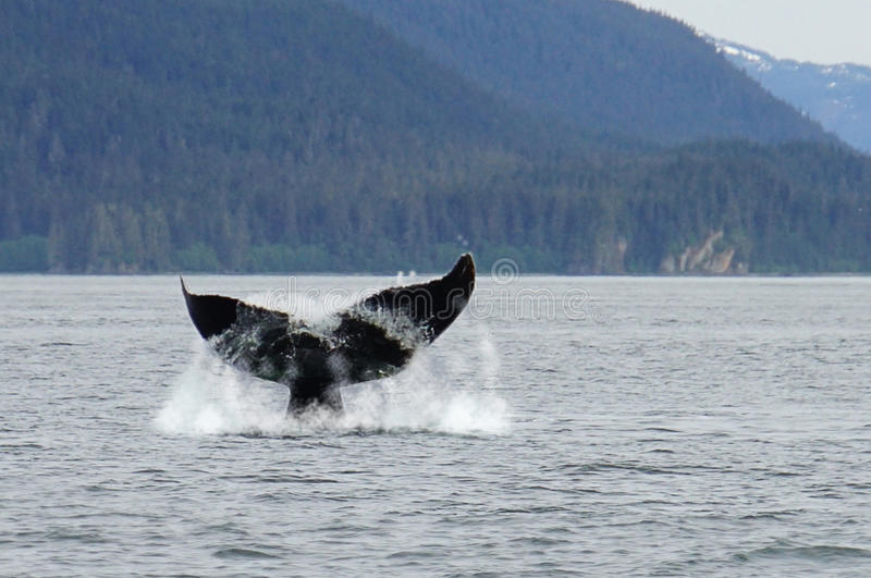 Whale watching, humpback whales in Alaska. Picture of a humpback whale tail while diving in Alaska eating fish stock photography
