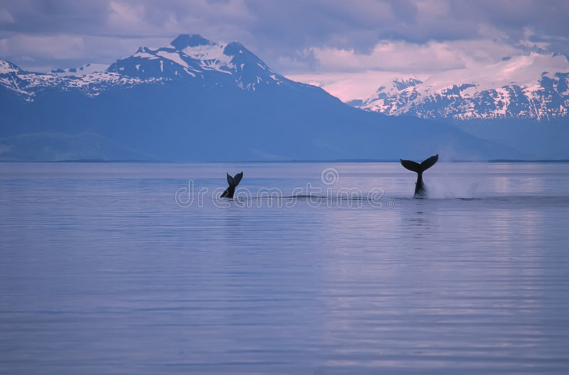 Whales. Humpback whales sounding.Frederick Sound SW Alaska