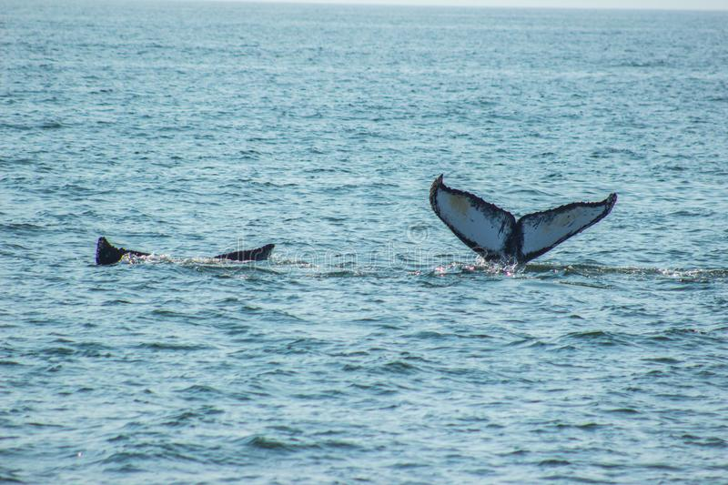 Beautiful whale tails of pair stock images