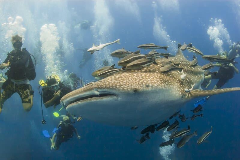 Whaleshark和scubadivers 免版税图库摄影