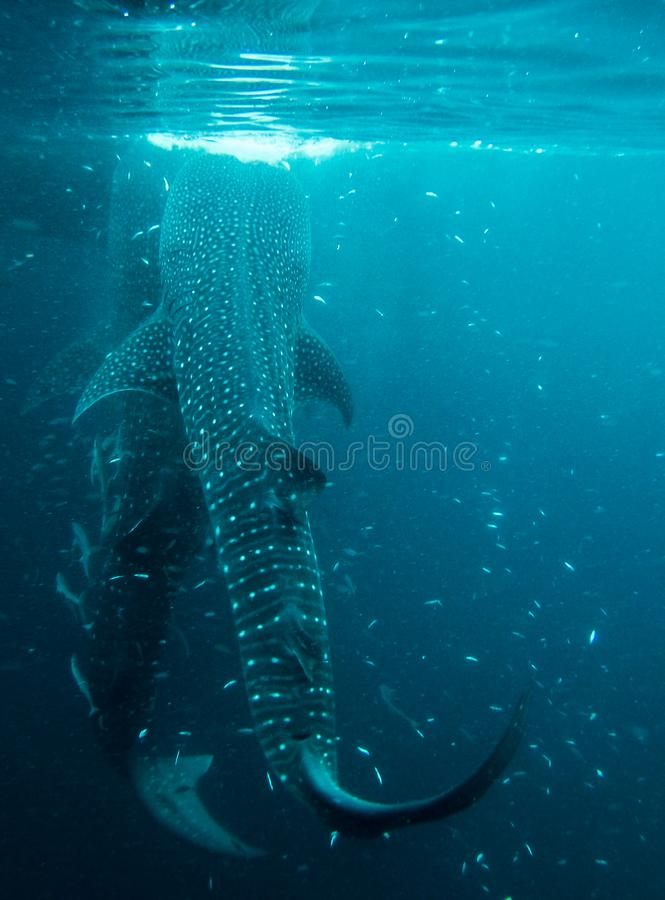 Whaleshark στο derawan νησί, Ινδονησία στοκ φωτογραφίες