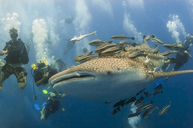 Whaleshark и scubadivers стоковая фотография rf