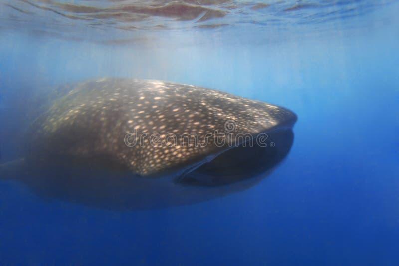 Whaleshark fotografia stock libera da diritti