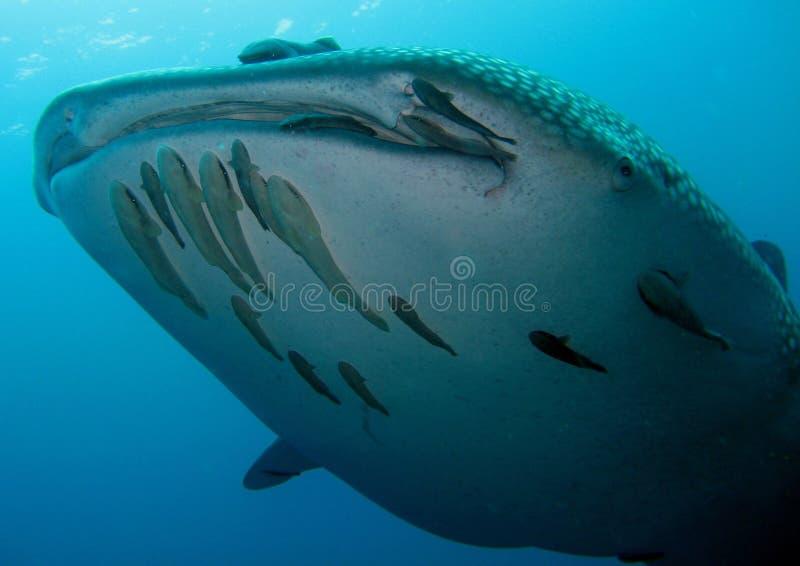whaleshark стоковые фото