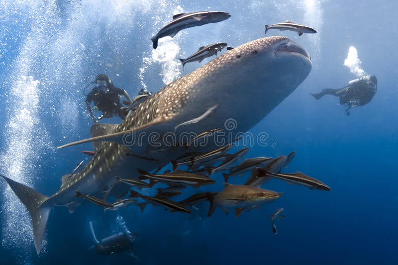 Whaleshark e scubadivers fotografie stock