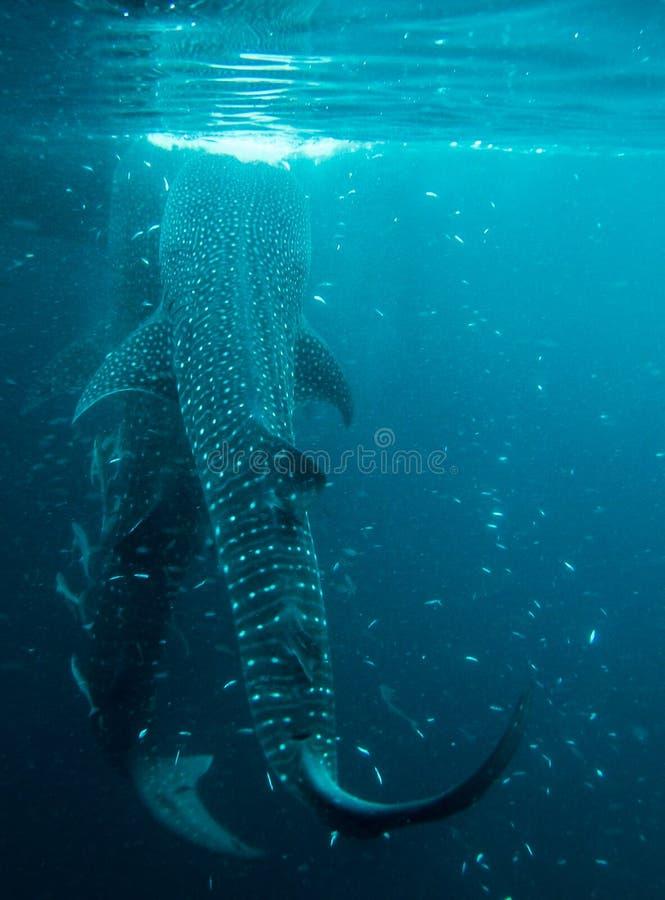 Whaleshark en la isla derawan, Indonesia fotos de archivo