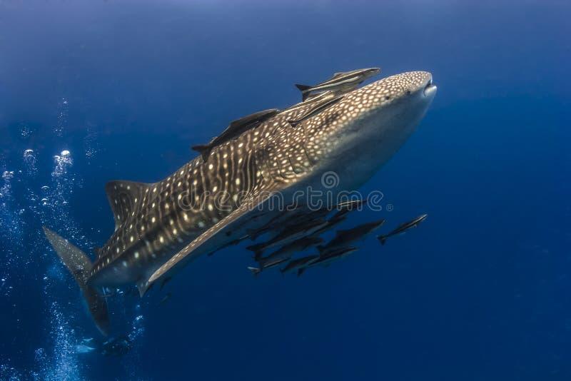 Whaleshark et suckerfish image libre de droits