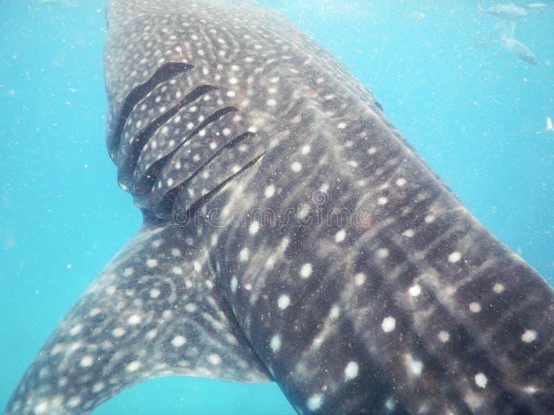 Whalesharks imagen de archivo libre de regalías