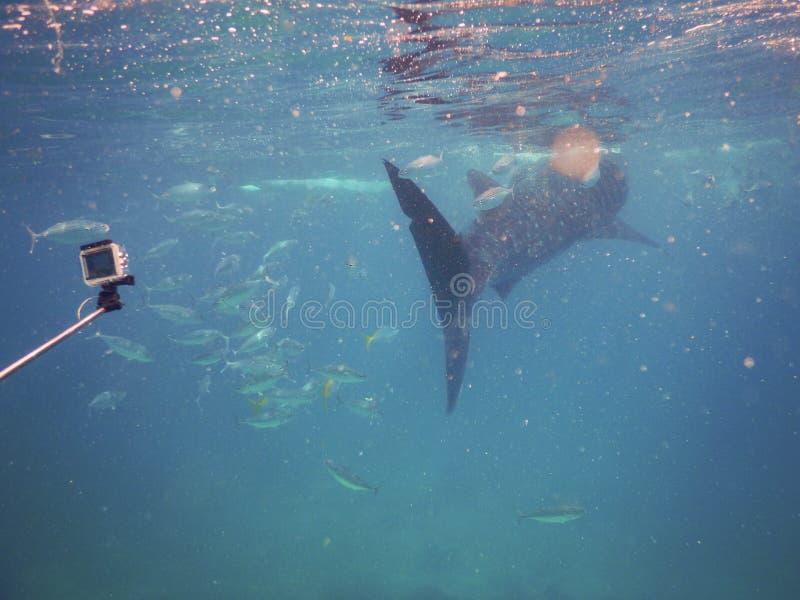 Whalesharks foto de archivo
