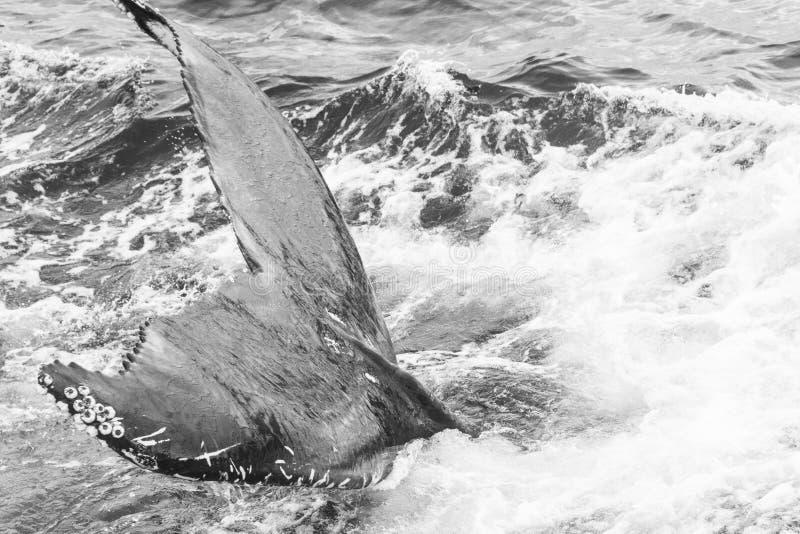 Whalewatching sull'Islanda fotografie stock