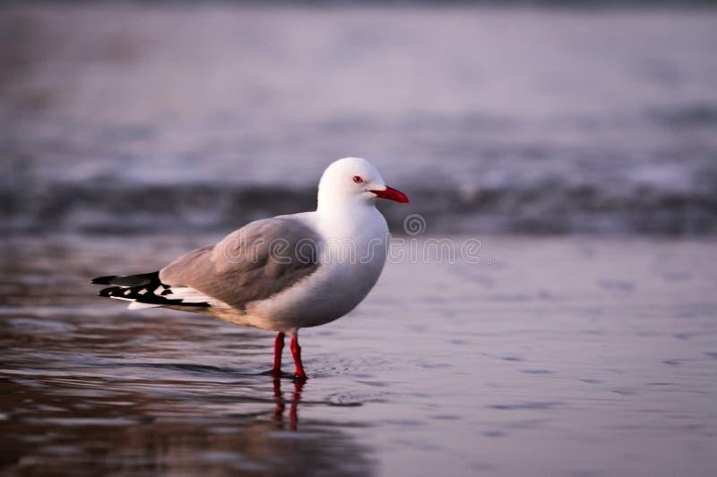Wharariki plaży ptaki fotografia royalty free