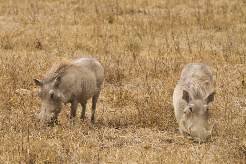 Download Wharthogs eating stock image. Image of mammal, criniera - 26792113