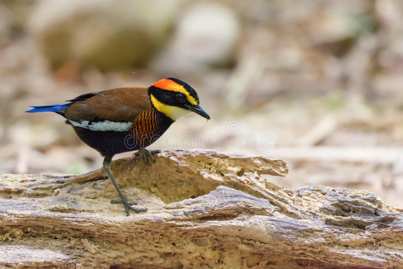 What a colourful walking bird. stock images
