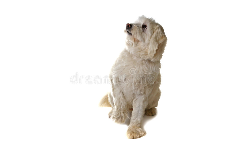 What Did I do Now. Cowering Pooch Isolated on White royalty free stock photos