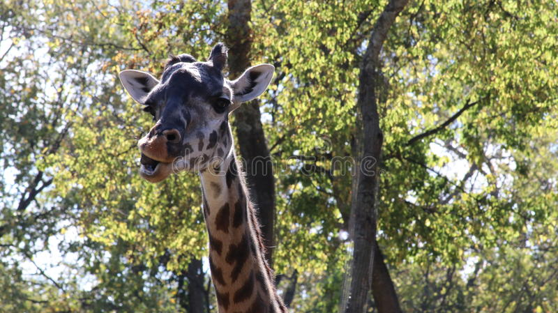 What did you say?. Big Giraffe striking a pose at the Nashville Zoo stock image