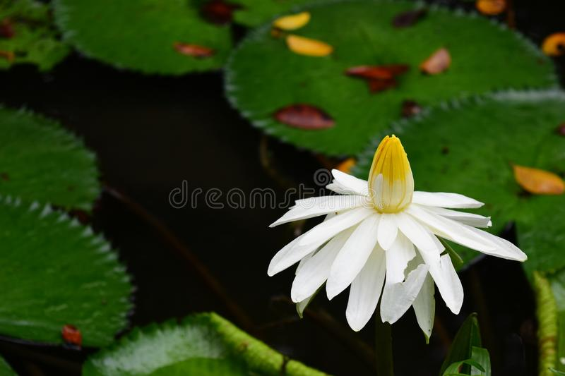 White Aquatic Flower and Plant - Alone. White Aquatic Flower and Plant, aloneness and loneliness royalty free stock photography