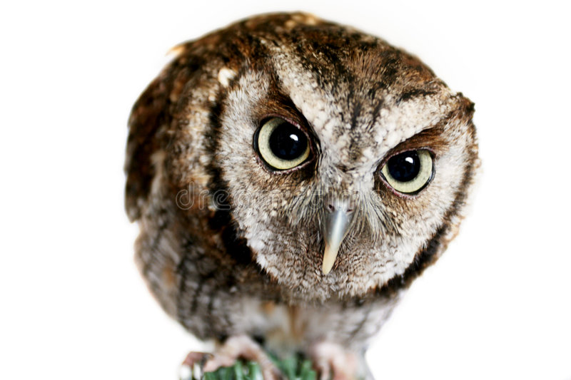 Download What a Hoot stock image. Image of cute, nature, observe - 1029803