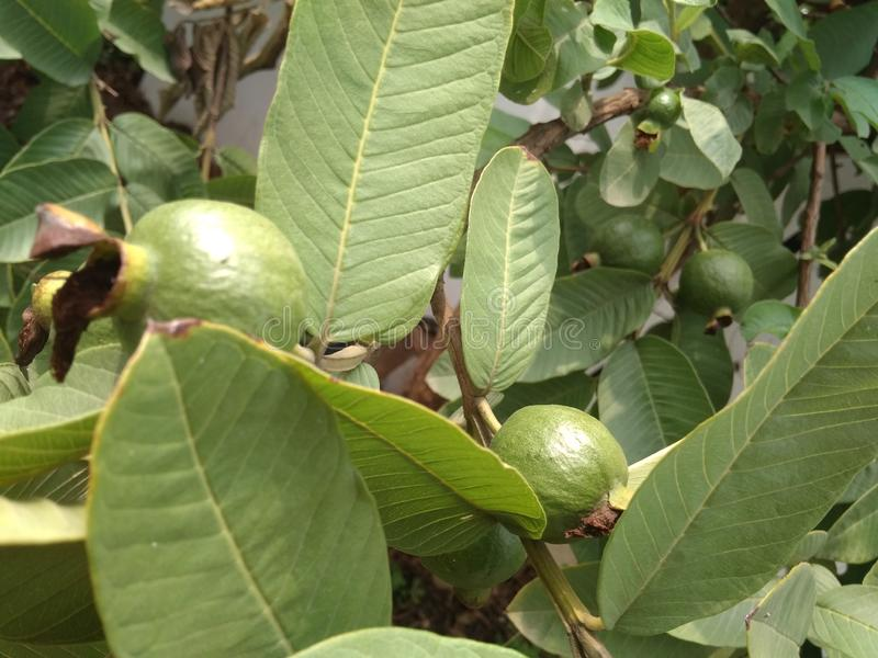 What a Nice Growth of Guavas Fruits This Season royalty free stock photos