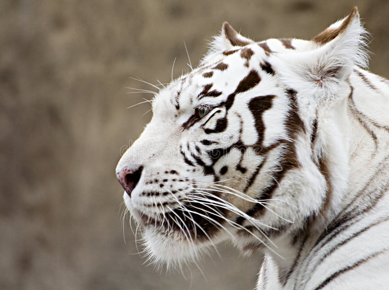 Download What The White Tiger Thinks? Royalty Free Stock Photography - Image: 1415307