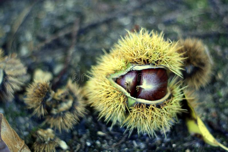 Autumn chestnuts. What would be autumn in France without the season of nuts and chestnuts? It`s a pleasure every year to go pick up these treasures of nature royalty free stock photo