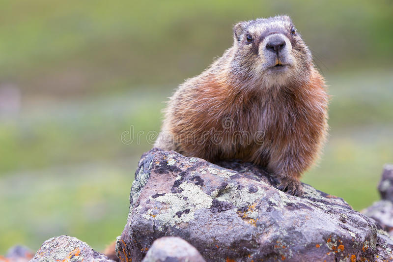 What are you looking at. Marmot staring at camera in mountains stock photo
