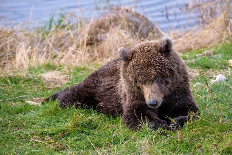 What are you looking at?. Young Alaska brown bear playing on the bank of the Brooks River royalty free stock photography