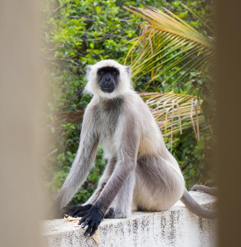 What are you staring at?. A langurmonkey, extremely focused on the camera lens right now, trying to comprehend what it actually is stock images