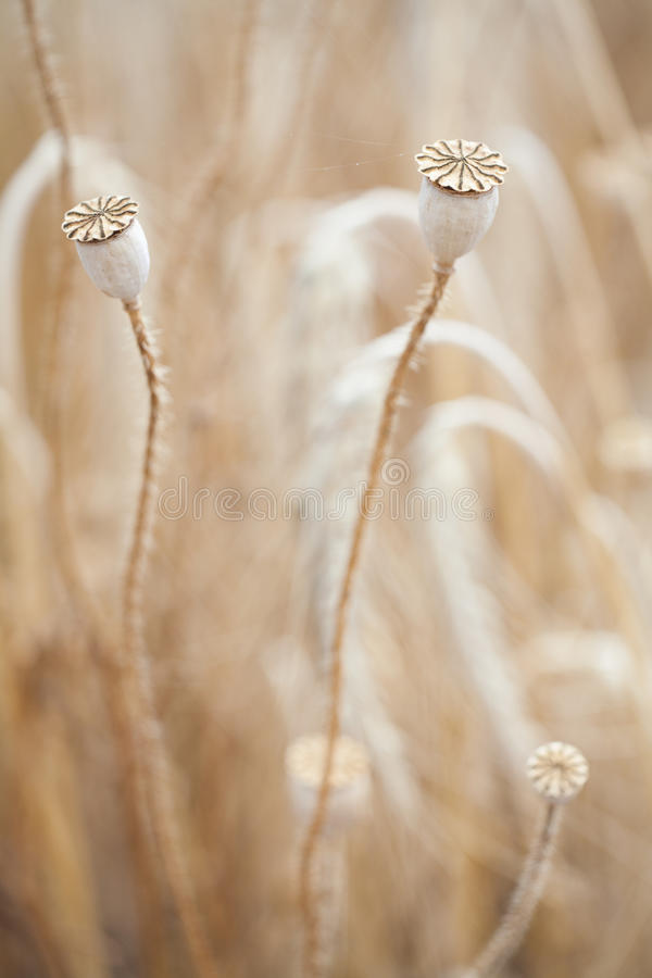 Wheal and papaver dry with insect in yellow field. Blur macro by industar royalty free stock photography