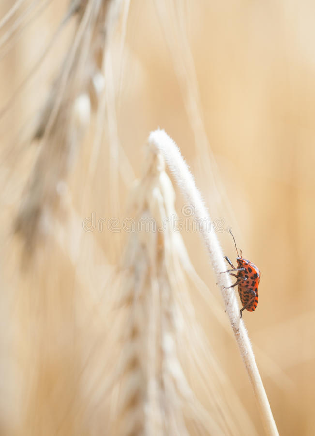 Wheal and papaver dry with insect in yellow field. Blur macro by industar stock photos