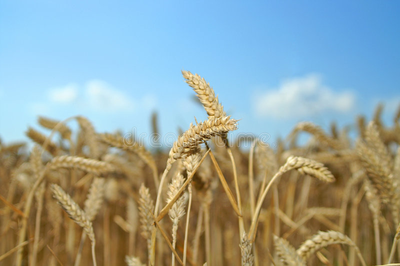 Wheat 01 royalty free stock photo