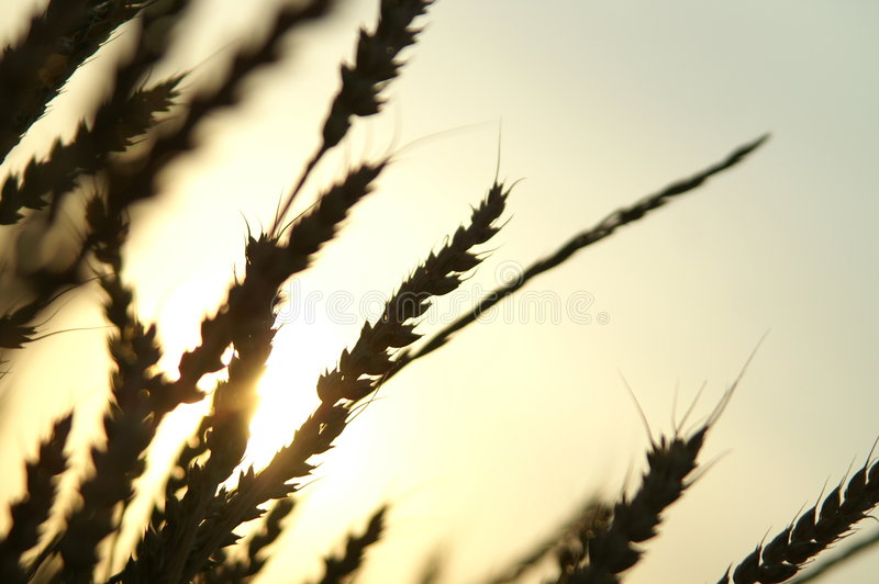 Wheat 03 royalty free stock images