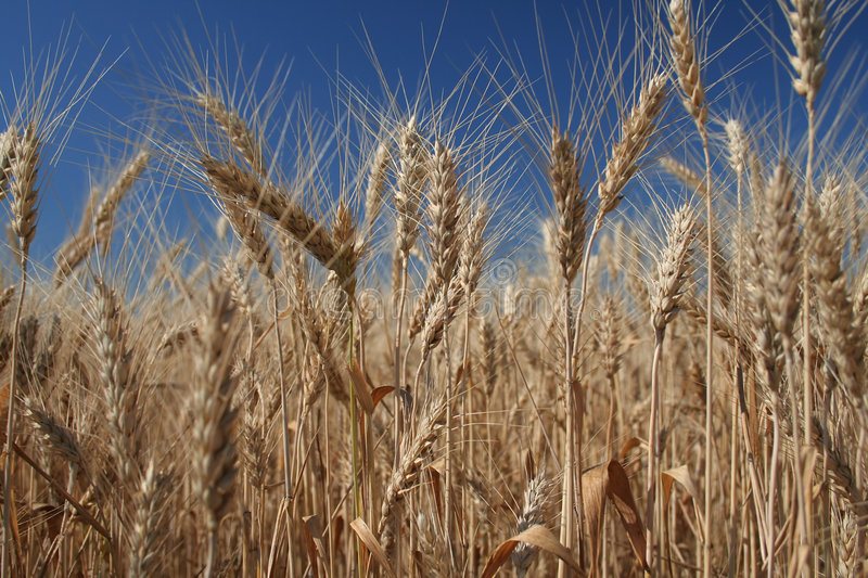 Download Wheat stock image. Image of earth, agriculture, botany - 1049285